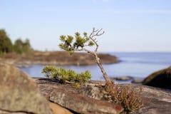 在Ladoga湖的石头的小杉木 免版税库存照片