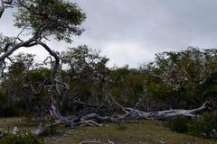 在Lago布兰科岸的下落的树  库存照片