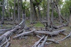 在Lago布兰科岸的下落的树  免版税图库摄影