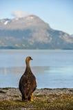 在Lago Roca,火地群岛国家公园,乌斯怀亚,阿根廷的鸟 免版税库存图片