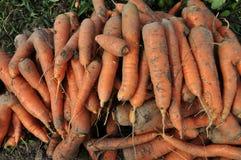 在land_10的收集的红萝卜 免版税库存照片