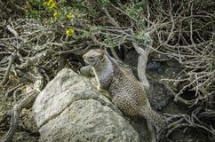 在Las Piedras Blancas,加利福尼亚的灰鼠 免版税库存图片