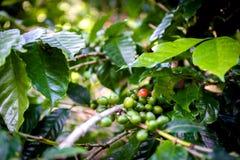 在Las Terrazas附近的咖啡种植园 免版税库存照片