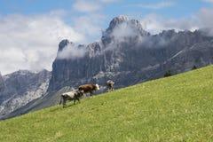 在Latemar的母牛 库存照片
