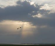 在Lauwersmeer的日落有母牛的 库存图片