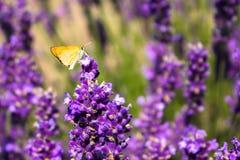 在lavander花的Butterly 免版税图库摄影