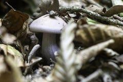 在leafage下的神奇紫色蘑菇 图库摄影