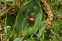 在leavе的瓢虫 春天在里加 库存图片