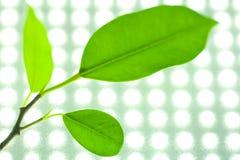 在LEDs背景的绿色叶子  免版税库存图片