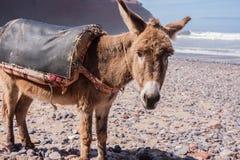 在Legzira海滩的驴 免版税库存照片