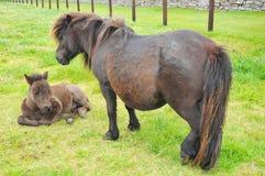 在Lerwick的舍特兰群岛小马 库存图片