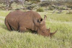 在Lewa管理的吃草在草的黑犀牛,肯尼亚,非洲 免版税库存照片