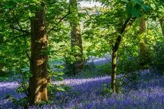 在Lickey小山国家公园的会开蓝色钟形花的草 免版税库存图片