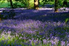 在Lickey小山国家公园的会开蓝色钟形花的草 库存图片