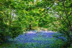 在Lickey小山国家公园的会开蓝色钟形花的草 免版税库存照片