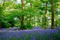 在Lickey小山国家公园的会开蓝色钟形花的草 免版税图库摄影