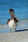 在Lido海滩的布朗鹈鹕 免版税库存照片
