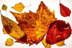 在lightbox的被隔绝的五颜六色的秋天leafes - 13 免版税图库摄影