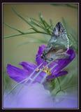 在lila花的蝴蝶 免版税图库摄影