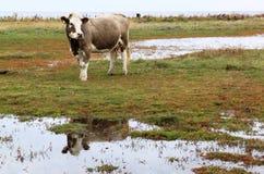 在Lilla Hammars Nas中反映母牛,瑞典 免版税库存照片