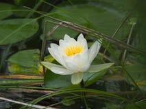在lilypads附近被集中的唯一浪端的白色泡沫百合 免版税库存照片