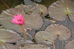 在Limahuli庭院里浇灌lilly花,考艾岛海岛 库存照片