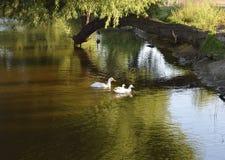 在Lindo湖公园的白色鸭子家庭湖边的,在圣地亚哥附近的加利福尼亚 库存照片