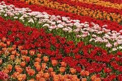 在Lisse,南荷兰省,荷兰附近的郁金香域 库存照片