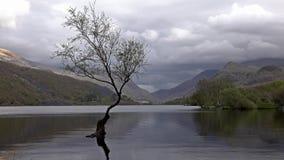 在Llanberis, Snowdonia国家公园-威尔士,英国的孤立树 股票录像