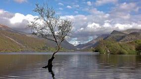在Llanberis, Snowdonia国家公园-威尔士,英国的孤立树 股票视频