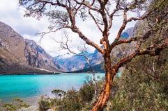 在Llanganuco冰川盐水湖前面的树在秘鲁安地斯 免版税库存照片