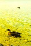在Loch Lomond湖低头游泳在勒斯,苏格兰,英国 免版税库存照片