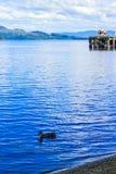 在Loch Lomond湖低头游泳在勒斯,苏格兰,英国 免版税图库摄影