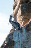 在Los卡约埃尔考斯峭壁的鹈鹕在土地在Cabo圣卢卡斯巴哈墨西哥结束 免版税库存图片