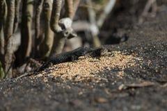 在Los的拉帕尔玛岛典型的蜥蜴Tizon Gallotia galloti棕榈科能 库存照片