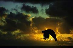 在Los Cocoteros的日出与飞行掠夺-兰萨罗特岛 图库摄影