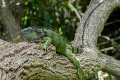 在Lounging的绿色鬣鳞蜥在分支在晴天 库存图片