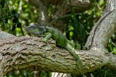在Lounging的绿色鬣鳞蜥在树枝 免版税库存图片