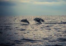 在Lovina海滩的海豚 库存照片