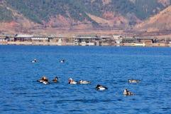 在Lugu湖的鸭子 免版税图库摄影