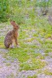 在Mackinac Deerland ST的一只Audubon ` s棉尾兔 伊格曼山,密执安 库存照片