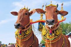 在Madura公牛种族,印度尼西亚的装饰的公牛 免版税图库摄影