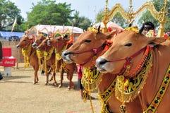 在Madura公牛种族,印度尼西亚的装饰的公牛 免版税库存图片