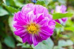 在Mae华氏Luang庭院的庭院大丽花 免版税库存照片