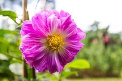 在Mae华氏Luang庭院的庭院大丽花 库存图片