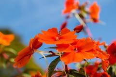 在Mae华氏Luang庭院的美丽的红色花 免版税库存图片