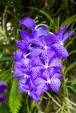 在Mae华氏Luang庭院的美丽的紫色花 免版税库存照片