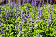 在Mae华氏Luang庭院的美丽的紫色花 图库摄影