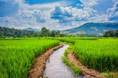 在Maechaem的米领域在泰国 免版税库存照片