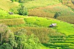 在Maejam Chiangmai泰国的绿色米领域。 库存图片